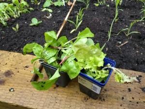 Herbs at garden